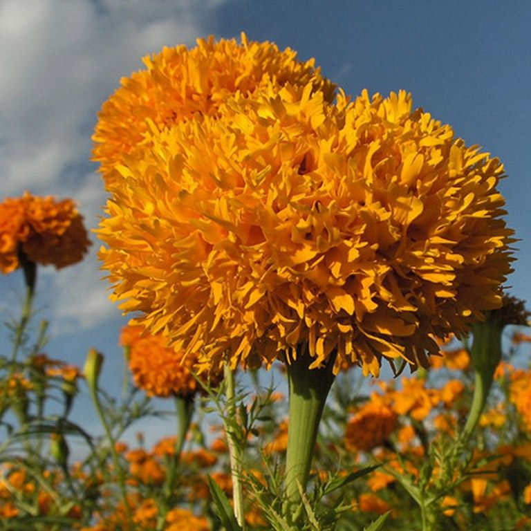 Бархатцы, чернобривцы и имеретинский шафран: солнечные зайчики на садовом участке