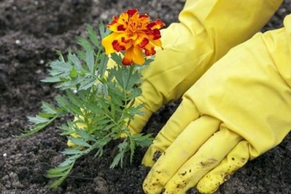 Высаживать бархатцы в саду лучше при температуре от 18 до 22 градусов, это самый оптимальный вариант