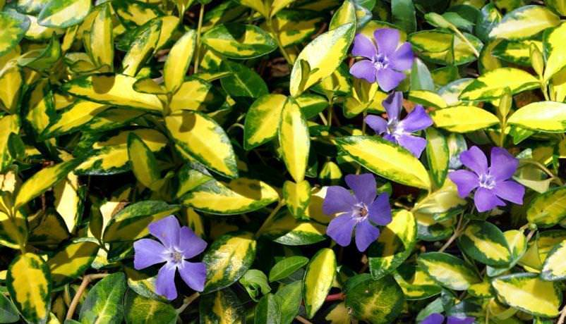 Особенности выращивания барвинка