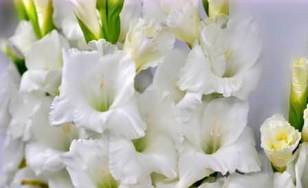 Статные белые гладиолусы поистине являются украшением сада и гордостью каждого садовода
