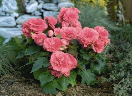 Только при правильной зимовке можно будет рассчитывать на пышное цветение в будущем сезоне