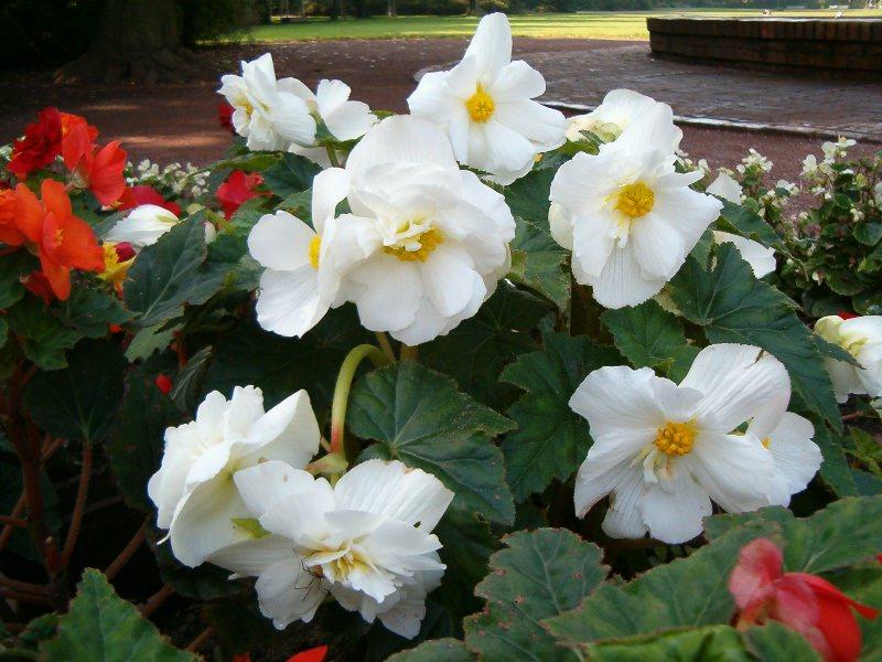 Правильное хранение зимой клубневой бегонии интересует многих начинающих цветоводов, ведь растение в силу своей теплолюбивости не способно перезимовать в открытом грунте