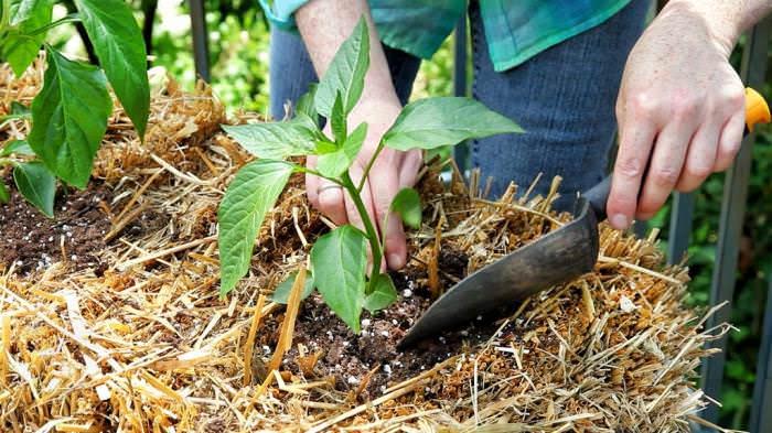 Листья на рассаде могут побелеть при пересадке ее на постоянное место, если молодые растения не подвергались предварительному закаливанию