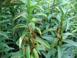 Достаточно часто в процессе культивирования лилии могут возникнуть проблемы