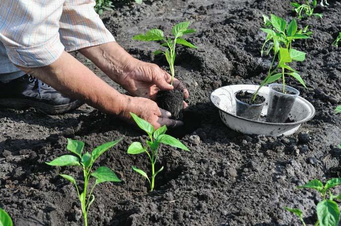 От правильного соблюдения технологии посадки перца будут зависеть показатели продуктивности и качество урожая