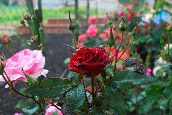 Благодаря оригинальности и высокой декоративности бордюрные розы очень высоко ценятся ландшафтными дизайнерами