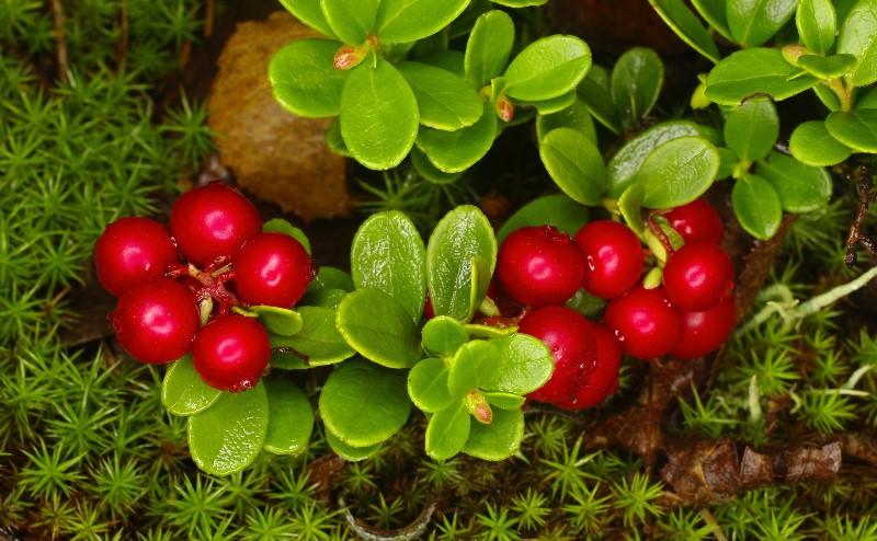 Брусника: кустарник с полезными и вкусными плодами на вашей даче