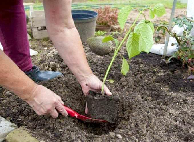 Недавно посаженные растения довольно уязвимы, даже если относятся к выносливым сортам