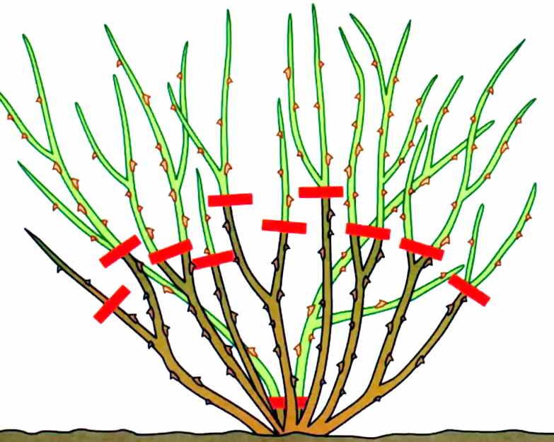 Осенняя обрезка форзиции обычно проводится с целью удаления лишних и повреждённых побегов