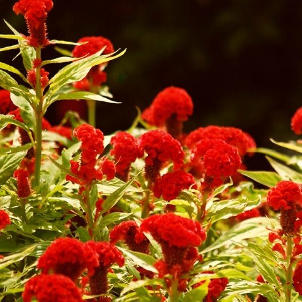 Целозия: как вырастить и правильно сочетать с другими растениями