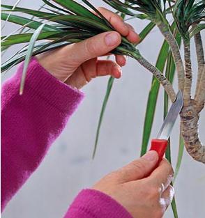 Обрезка драцены в домашних условиях является одним из наиболее важных элементов ухода за декоративным растением