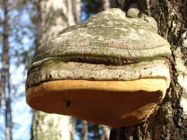 Растет гриб несколько лет, а результатом его жизнедеятельности становится гибель растения-хозяина