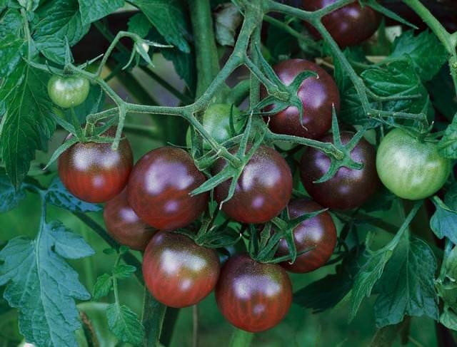 Сорт черри Черная вишня можно выращивать на улице