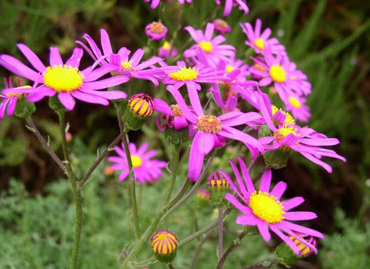 Крестовник изящный — один из немногих видов своего рода, который предпочитает богатые гумусом почвы и может размножаться прямым посевом семян в грунт