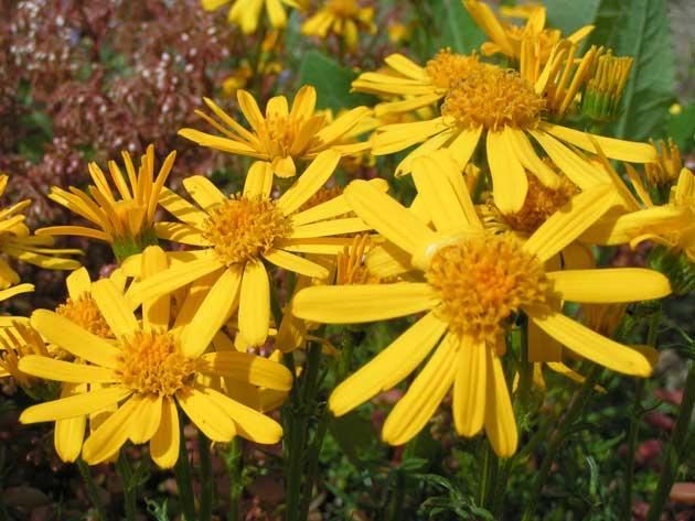 Крестовник полыннолистный выращивается как многолетник, размножается делением куста и семенами