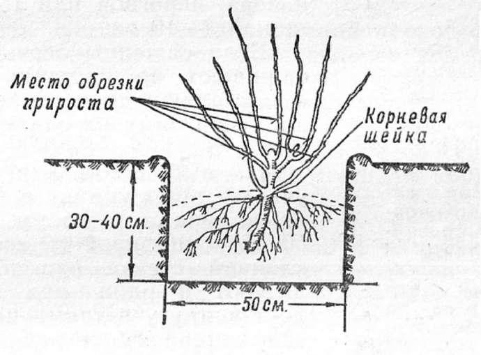 Технология осенней посадки может варьироваться в зависимости от возраста посадочного материала, а также сортовых и видовых особенностей растения