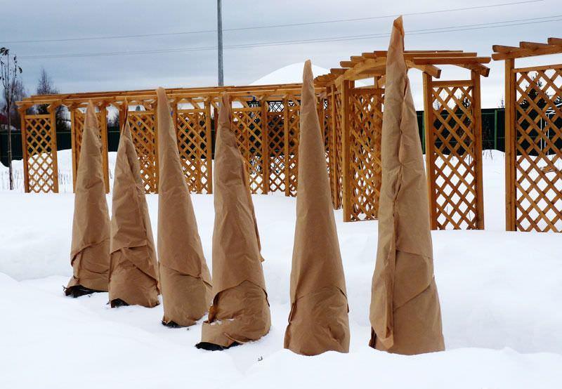 Закутывать тую на зиму в ткань очень важно, особенно если речь идет о молодых культурах