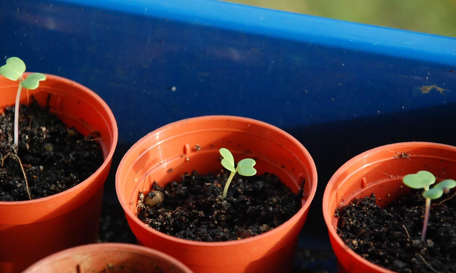 Выращивание рассады листовой капусты начинается в середине весны