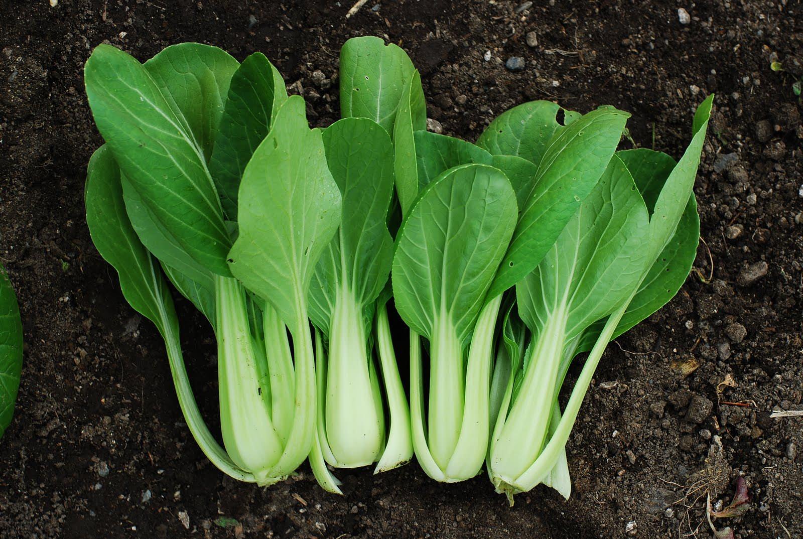 При сборе урожая срезают только листовые розетки на высоте в паре сантиметров от земли