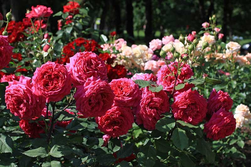 Чайные розы – теплолюбивая культура