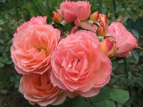 Чайно-гибридные розы – одна из самых красивых и ароматных групп роз