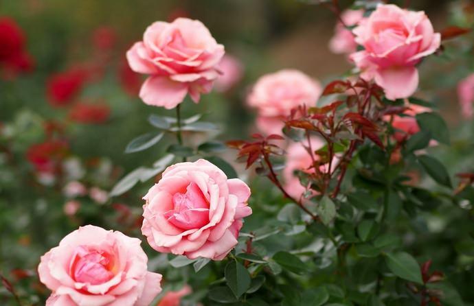 Период цветения чайных роз приходится на конец июня и продолжается до самых морозов