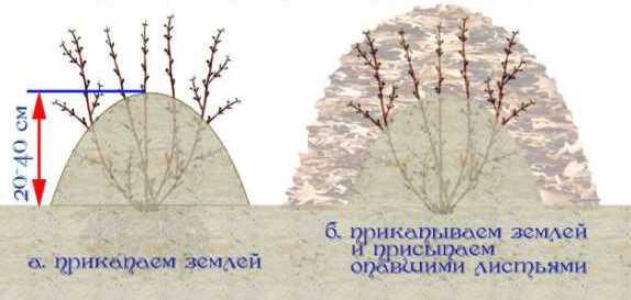 Почти во всех регионах организация зимнего укрытия роз обязательна