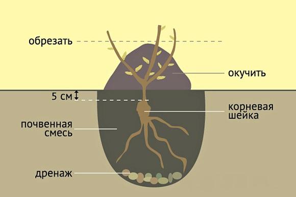 Перед посадкой на дно каждой ямы насыпается слой глины, горсть суперфосфата и с полведра перегноя