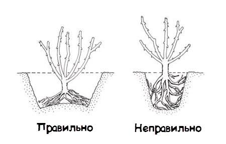 Глубина посадки должна быть такой, чтобы корневая шейка находилась чуть ниже уровня почвы