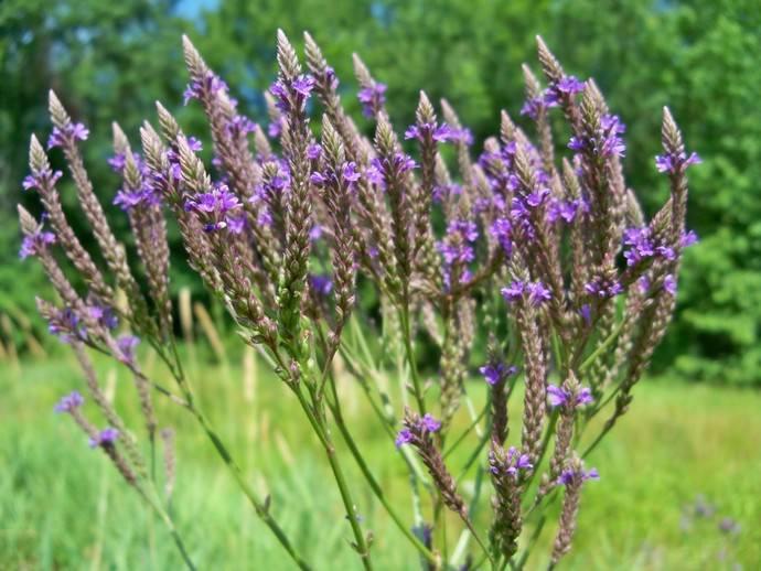Вербена лекарственная относится к растениям из семейства Вербеновых