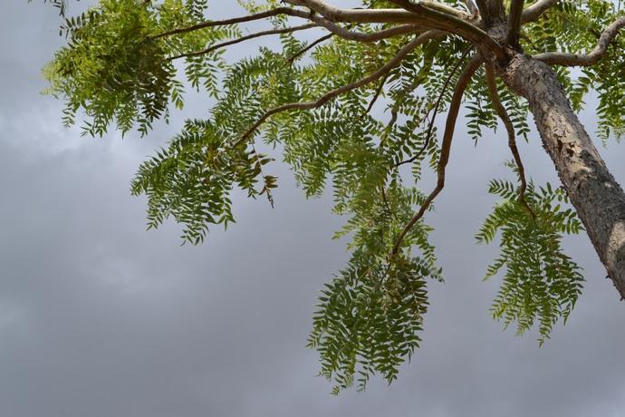Босвелия, или ладанное дерево, в большом количестве произрастает на территории Сомали
