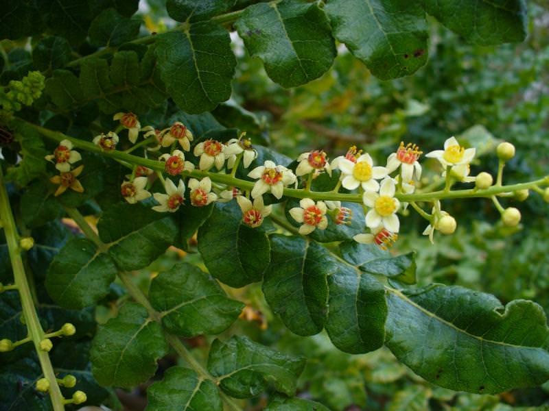 Период активного цветения босвеллии приходится на период с конца мая и до первой декады июня