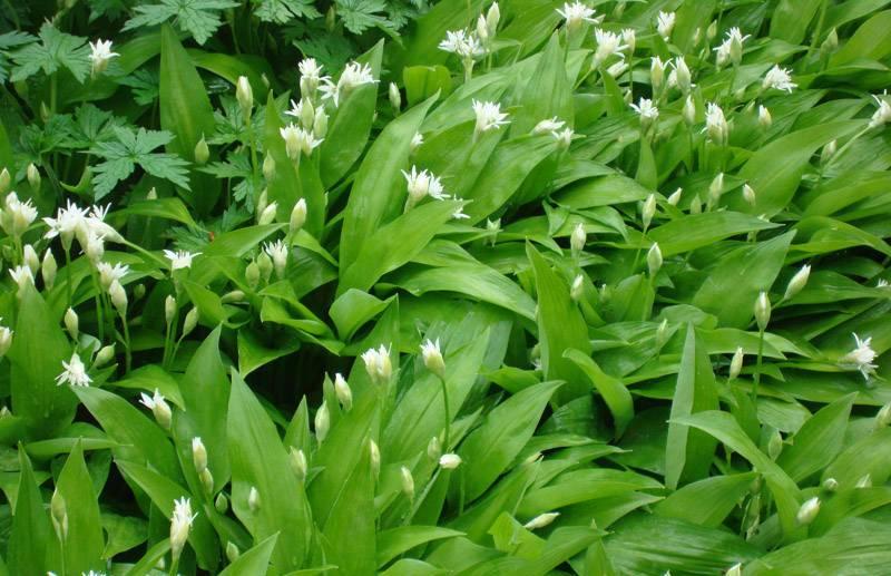 Черемша – это удивительное растение, которое сочетает в себе свойства лука и чеснока