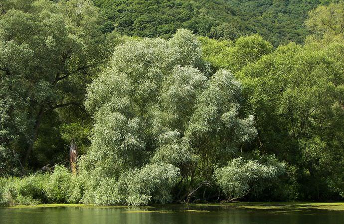 Ива растет вдоль водоемов, часто образуя заросли и большие рощи