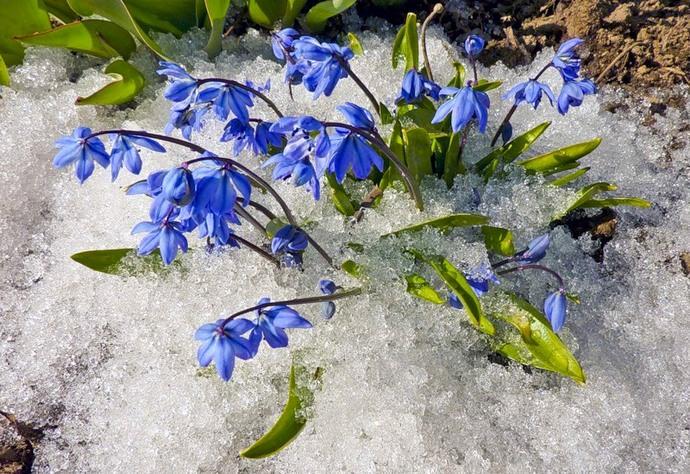 Очень красиво смотрятся сциллы в тенистых местах, где даже не полностью сошел снег