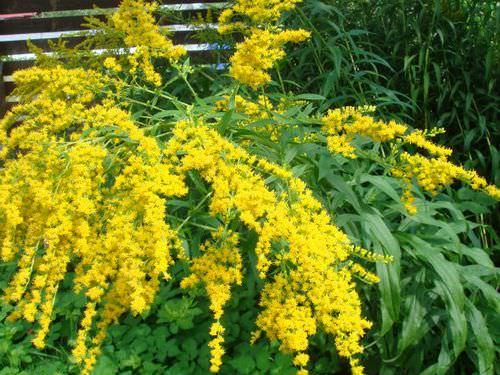 Золотая розга обладает полезным целебным воздействием на организм