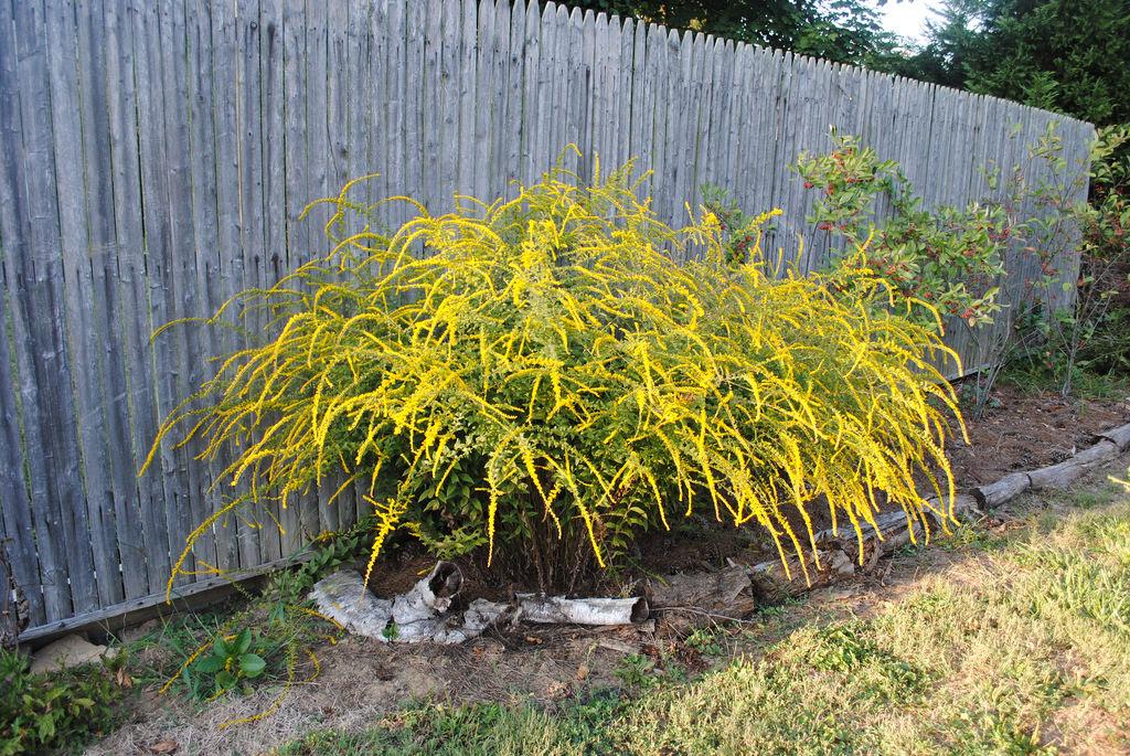 Высокие сорта с раскидистыми цветочками золотарника хорошо использовать в солитерных посадках