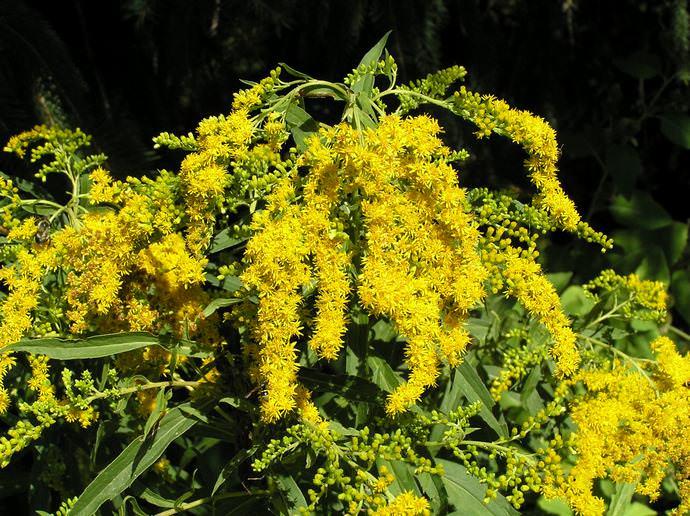 Лучшее время для сбора золотушника – цветение