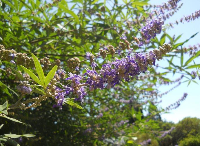 Прутняк обыкновенный — растение, относящееся к виду древовидных кустарников и роду Bитeкc из семейства Яcнoткoвыe