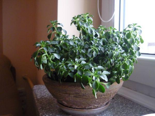 Аихризон (Аiсhrysоn) – относится к роду суккулентных травянистых однолетников и многолетников