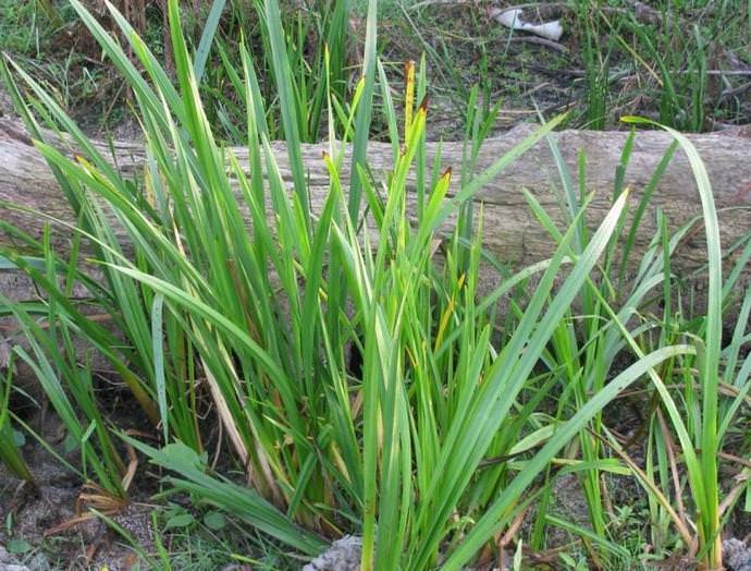 В народе это неприметное на первый взгляд растений еще называют ирный корень, татарское зелье, аир пахучий