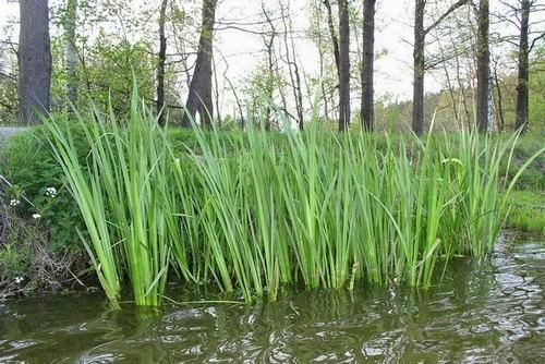 Аир болотный – одна из очень ценных и доступных трав