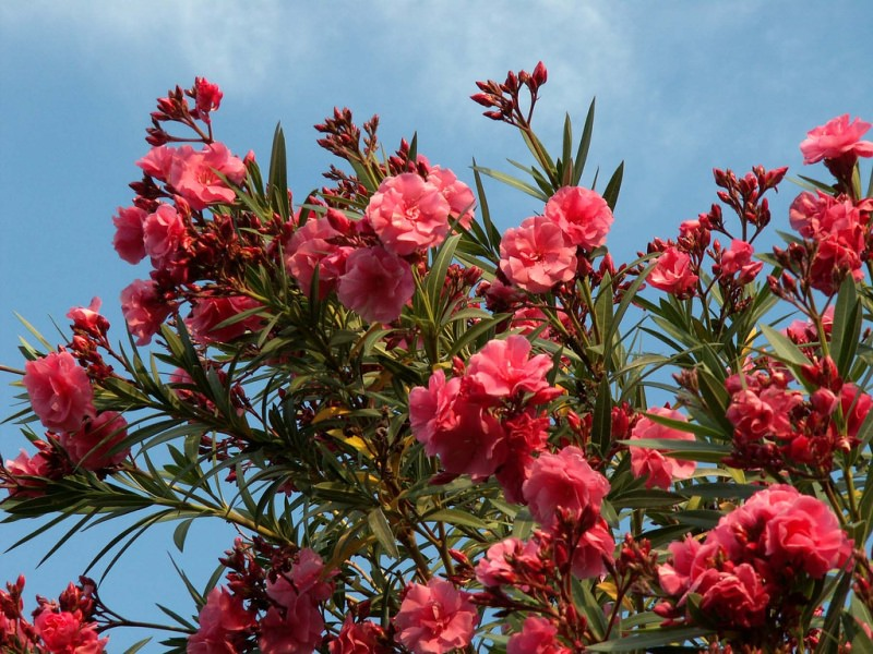 Олеандр цветет в летний период