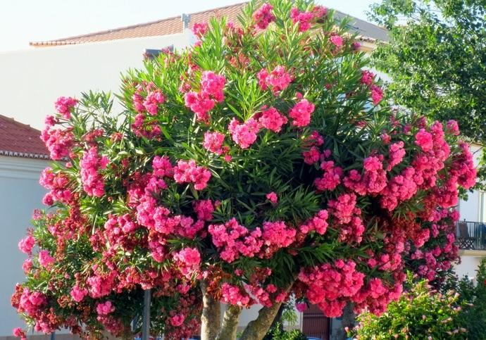 При соблюдении технологии ухода и грамотной обрезки, получается вырастить максимально пышное и хорошо облиственное растение