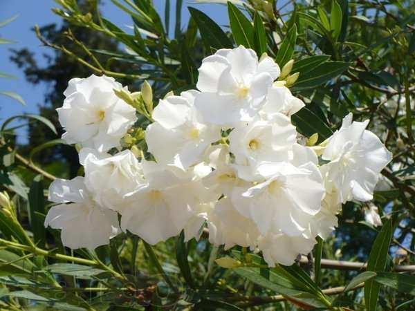При постоянном выращивании олеандра в открытом грунте пересаживать растение нет особой необходимости