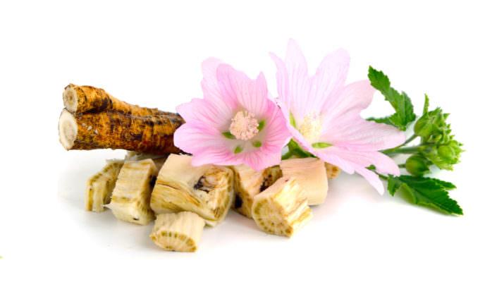 Лекарственными свойствами обладает корень и надземная часть алтея лекарственного