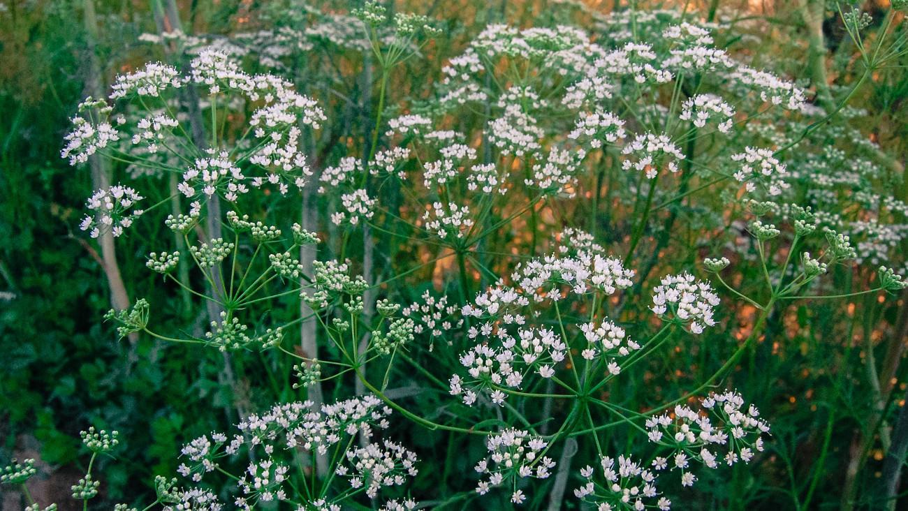 Активное цветение аниса обыкновенного можно наблюдать в июле