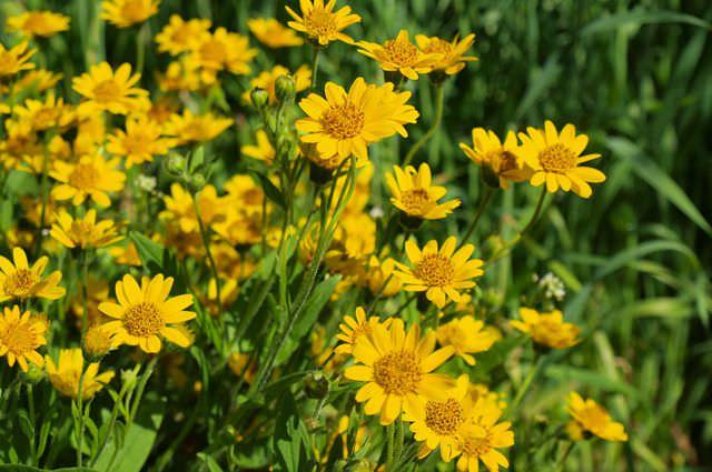 Цветёт арника в июне, июле и августе