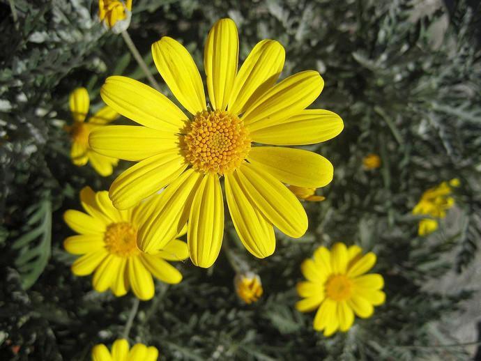 Соцветия арники горной — это источник биологически активных веществ