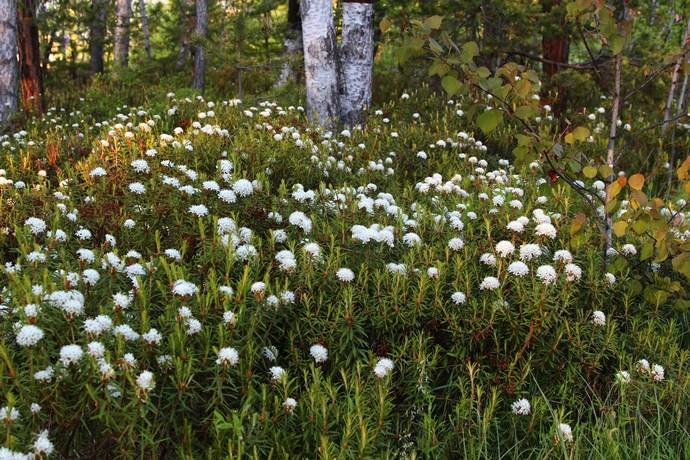 Багульник болотный на территории России произрастает в тундровой и лесной зонах европейской части, в Сибири и на Дальнем Востоке